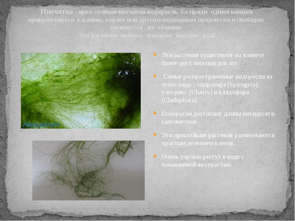 Нитчатка - ярко-зеленая нитчатая водоросль. Ее пряди одним концом прикрепляют...