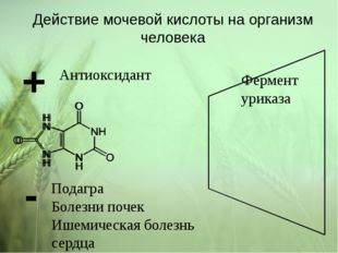 Действие мочевой кислоты на организм человека + Антиоксидант - Болезни почек