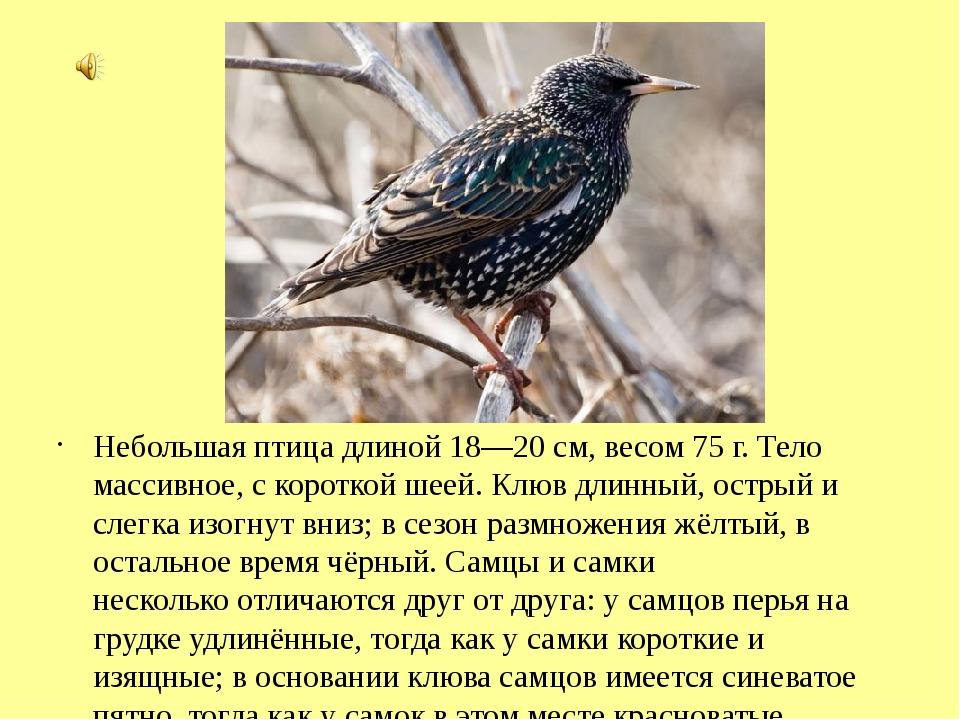 Небольшая птица длиной 18—20 см, весом 75г. Тело массивное, с короткой шеей....