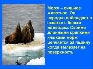 Морж – сильное животное. Он нередко побеждает в схватке с белым медведем. Сво