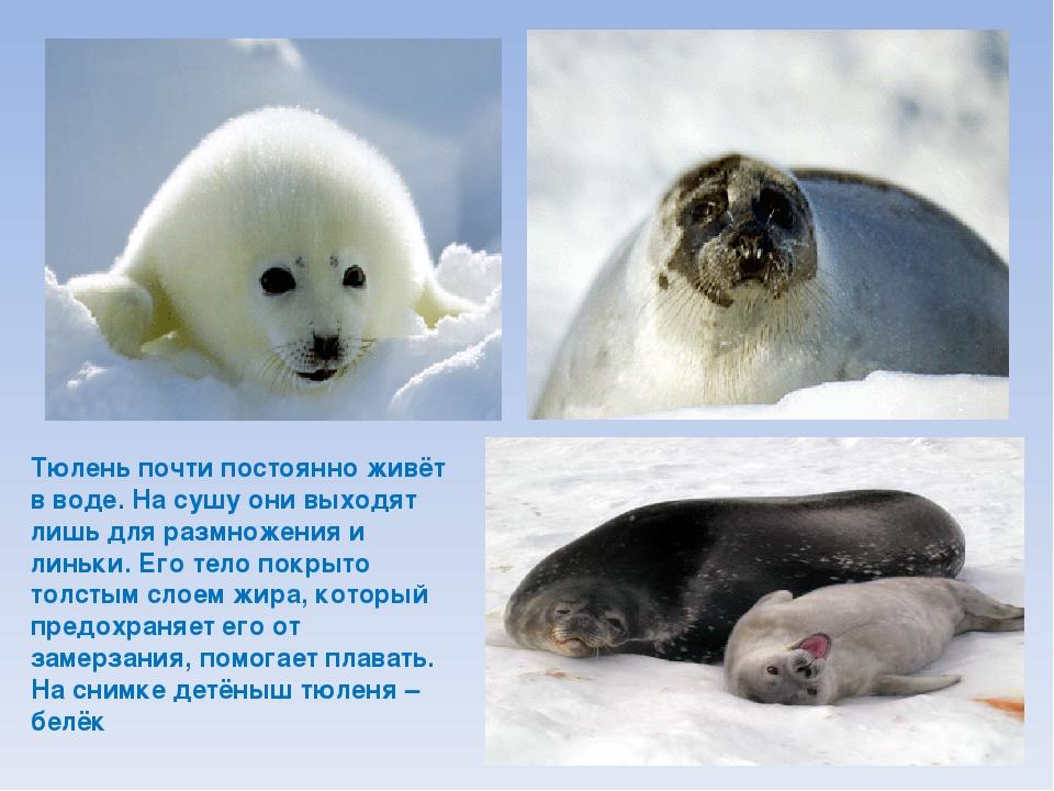 Тюлень почти постоянно живёт в воде. На сушу они выходят лишь для размножения...