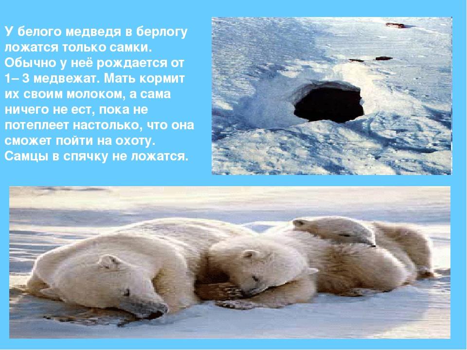 У белого медведя в берлогу ложатся только самки. Обычно у неё рождается от 1–...