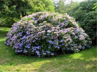 Кустарники - жизненная форма растений; многолетние деревянистые растения высо