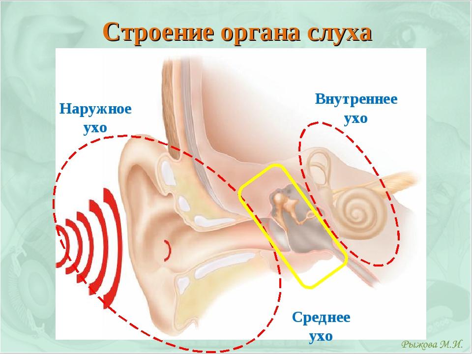 Строение органа слуха Наружное ухо Внутреннее ухо Среднее ухо