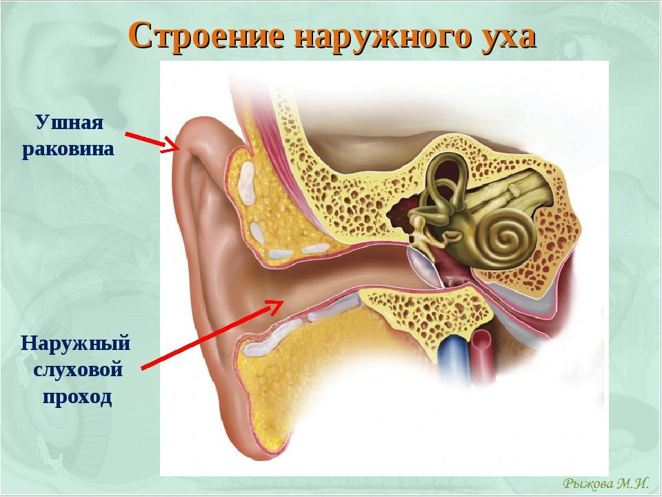 Строение наружного уха Ушная раковина Наружный слуховой проход