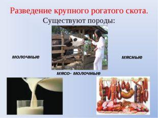 Разведение крупного рогатого скота. Существуют породы: молочные мясо- молочны