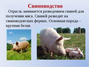 Свиноводство Отрасль занимается разведением свиней для получения мяса. Свиней