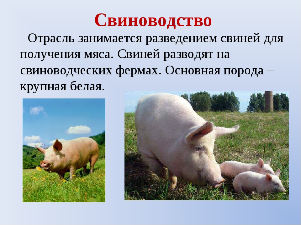 Свиноводство Отрасль занимается разведением свиней для получения мяса. Свиней...