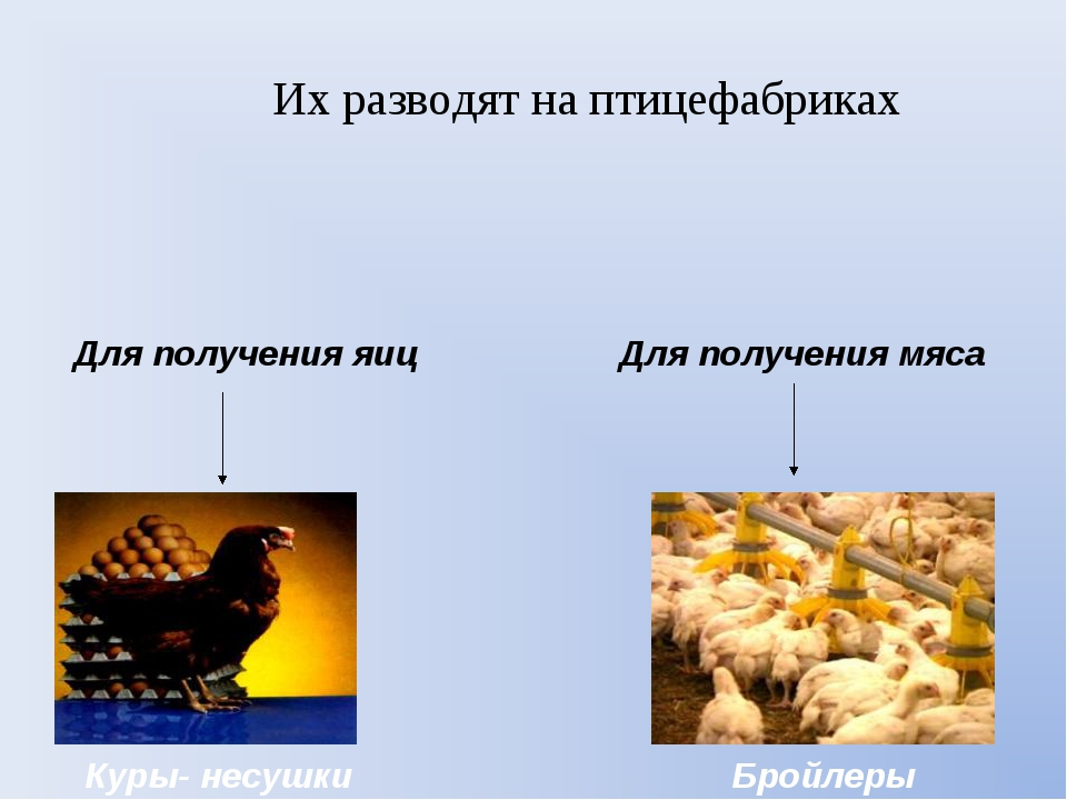 Их разводят на птицефабриках Для получения яиц Для получения мяса Куры- несуш...
