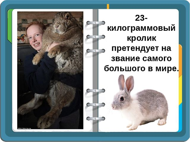 23-килограммовый кролик претендует на звание самого большого в мире.