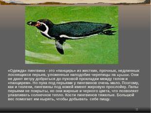 * «Одежда» пингвина - это «панцирь» из жестких, прочных, недлинных лоснящихся