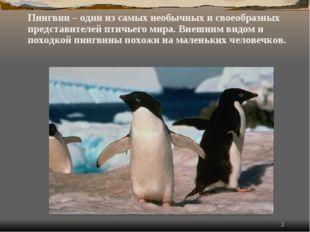 * Пингвин – один из самых необычных и своеобразных представителей птичьего м