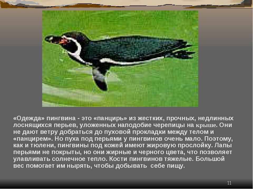 * «Одежда» пингвина - это «панцирь» из жестких, прочных, недлинных лоснящихся...