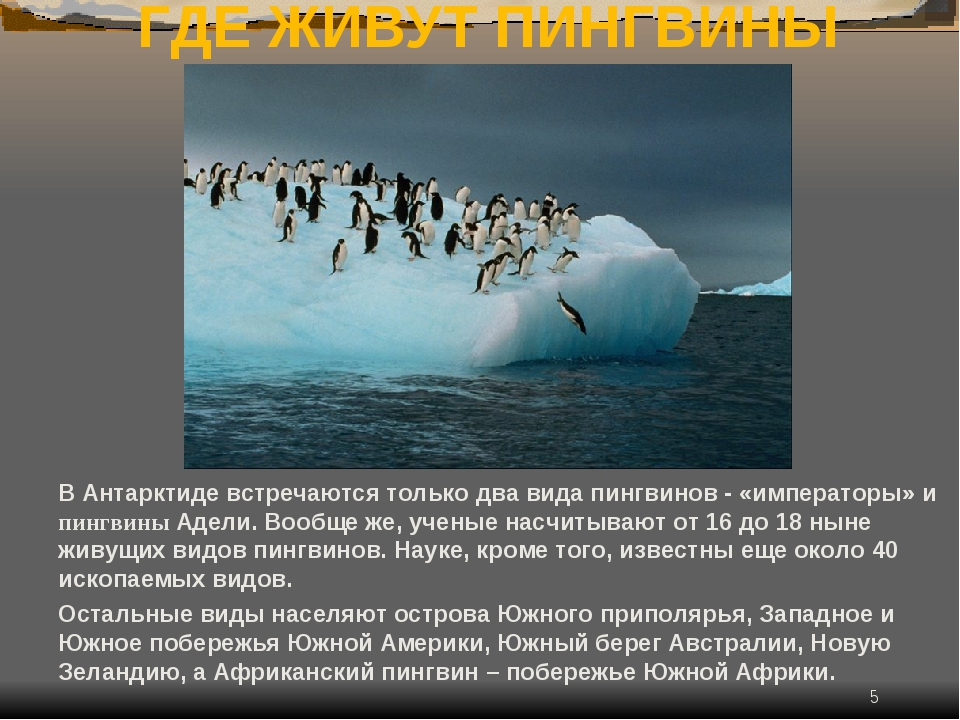 * ГДЕ ЖИВУТ ПИНГВИНЫ В Антарктиде встречаются только два вида пингвинов - «им...