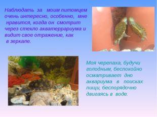 Моя черепаха, будучи голодным, беспокойно осматривает дно аквариума в поиска