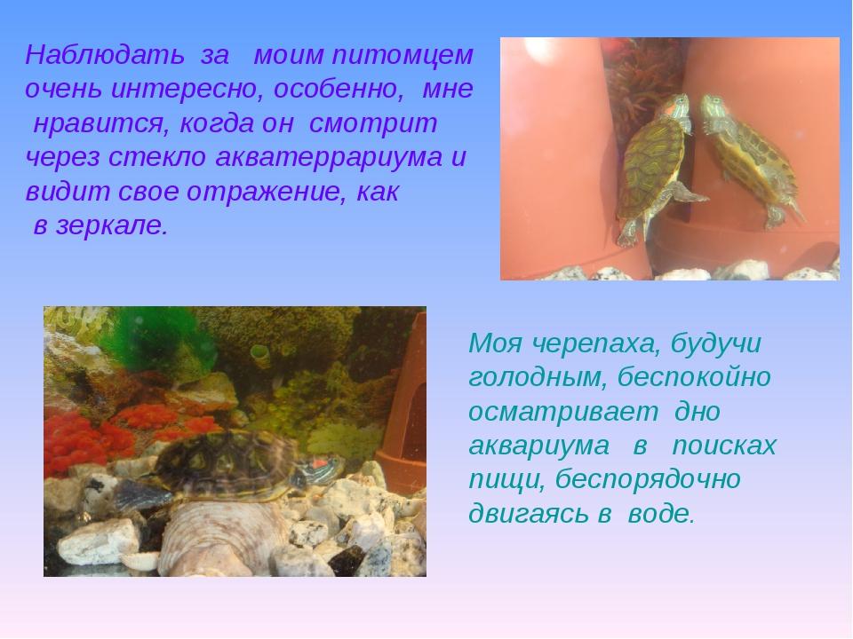 Моя черепаха, будучи голодным, беспокойно осматривает дно аквариума в поиска...