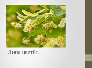 Липа цветёт.