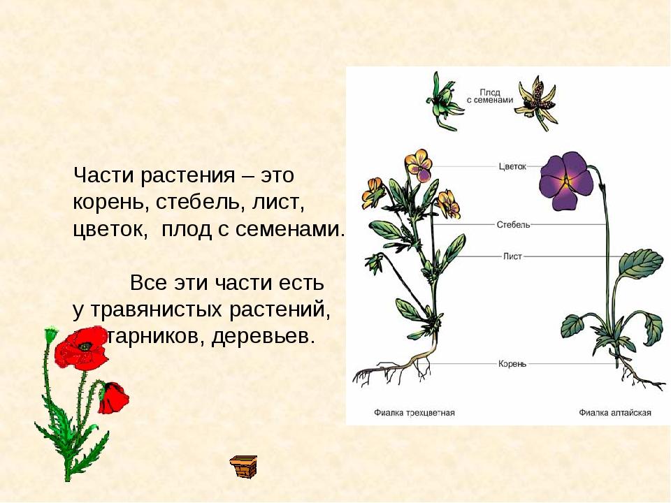 Части растения – это корень, стебель, лист, цветок, плод с семенами. Все эти...
