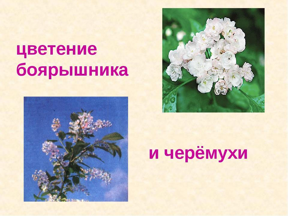 цветение боярышника и черёмухи