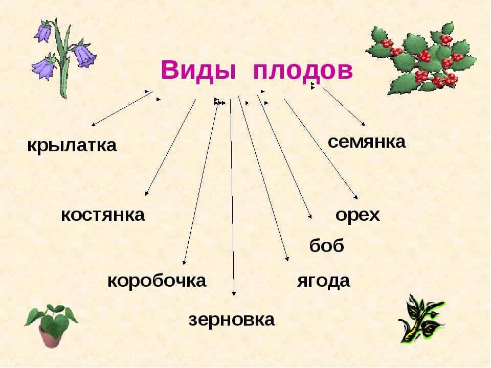 Виды плодов костянка семянка коробочка ягода орех крылатка зерновка боб