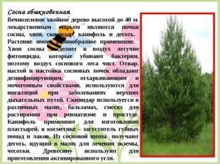 Сосна обыкновенная Вечнозеленое хвойное дерево высотой до 40 м. лекарственным