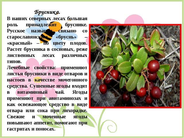 Брусника. В наших северных лесах большая роль принадлежит бруснике. Русское н...