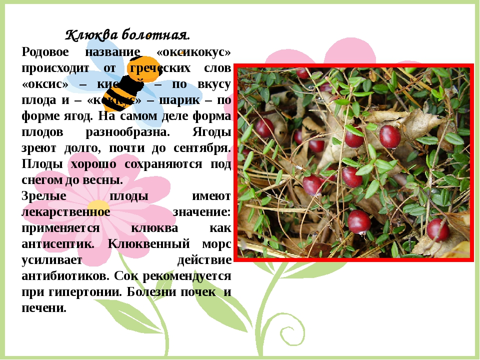 Клюква болотная. Родовое название «оксикокус» происходит от греческих слов «о...