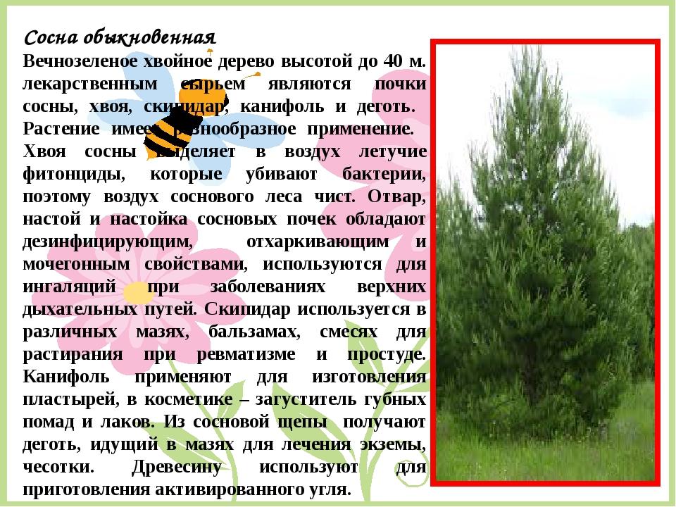 Сосна обыкновенная Вечнозеленое хвойное дерево высотой до 40 м. лекарственным...