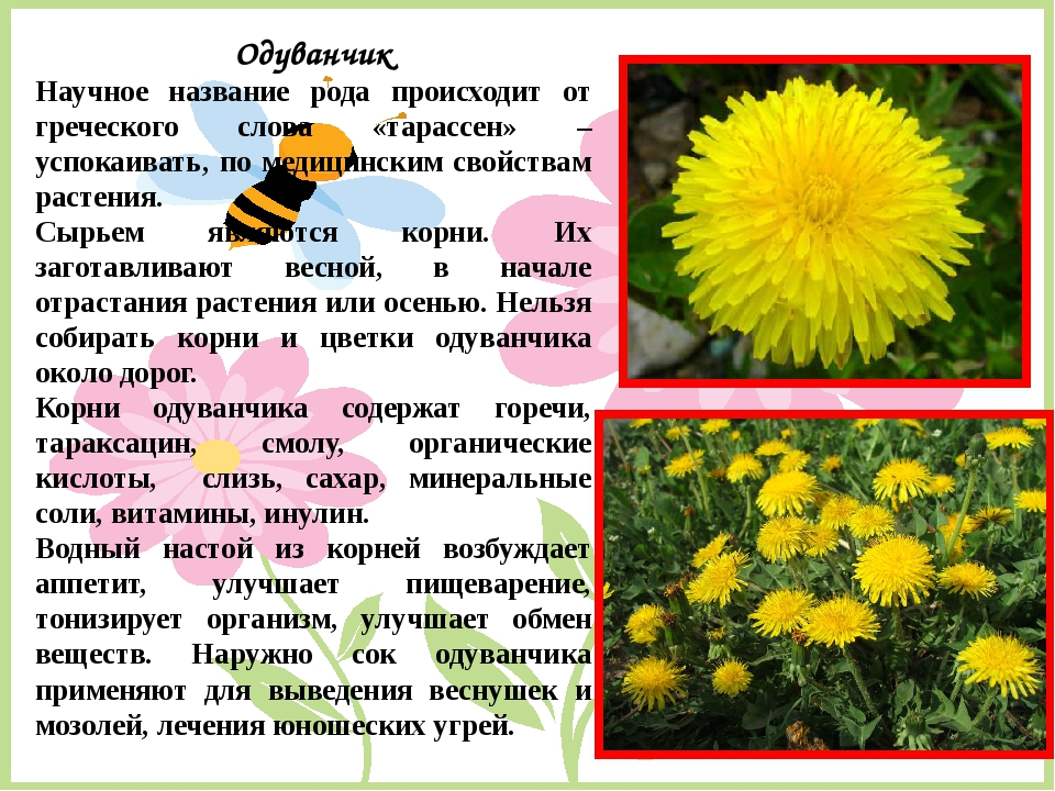 Одуванчик Научное название рода происходит от греческого слова «тарассен» – у...