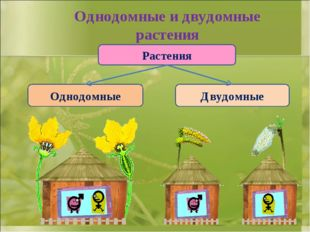 Однодомные и двудомные растения Растения Однодомные Двудомные