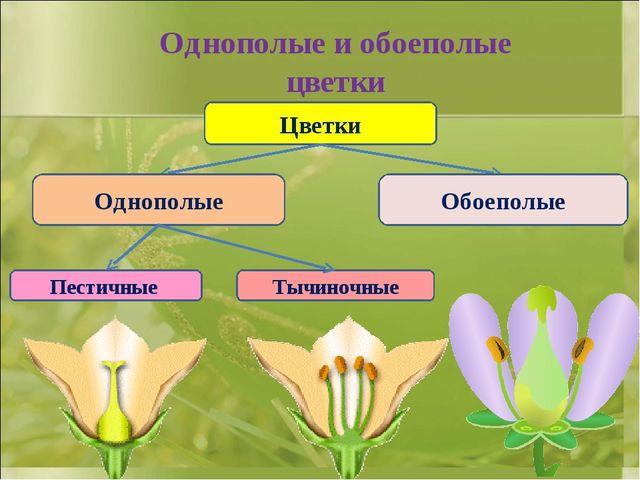 Однополые и обоеполые цветки Цветки Однополые Обоеполые Пестичные Тычиночные