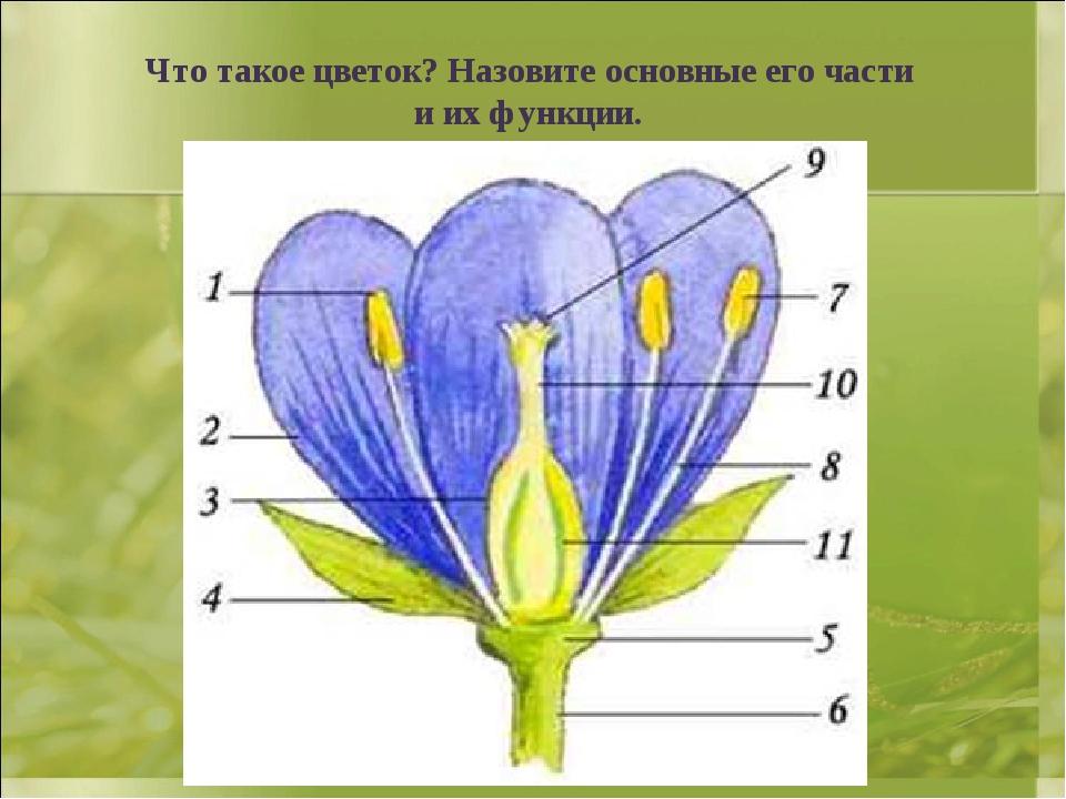 Что такое цветок? Назовите основные его части и их функции.