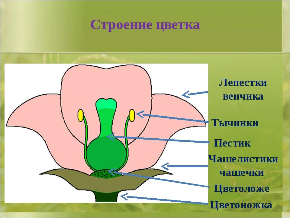 Строение цветка Цветоножка Цветоложе Чашелистики чашечки Пестик Тычинки Лепес...