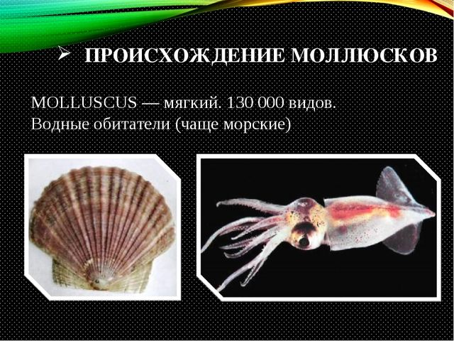 ПРОИСХОЖДЕНИЕ МОЛЛЮСКОВ MOLLUSCUS — мягкий. 130 000 видов. Водные обитатели (...
