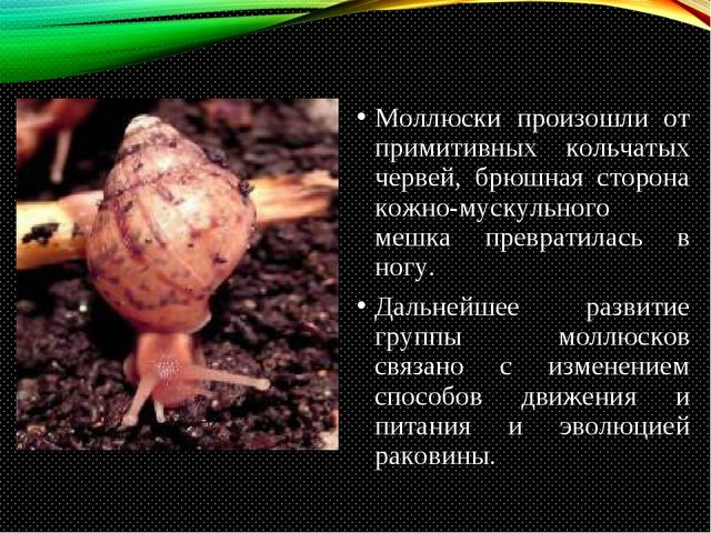 Моллюски произошли от примитивных кольчатых червей, брюшная сторона кожно-мус...