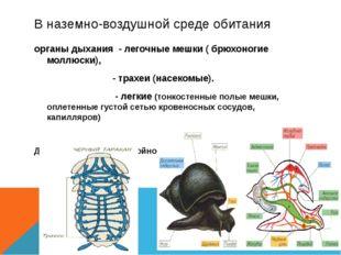 В наземно-воздушной среде обитания органы дыхания - легочные мешки ( брюхоног