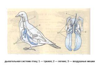 дыхательная система птиц: 1 — трахея; 2 — легкие; З — воздушные мешки