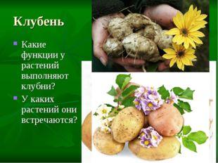 Клубень Какие функции у растений выполняют клубни? У каких растений они встре