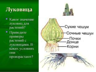 Луковица Какое значение луковиц для растений? Приведите примеры растений с лу