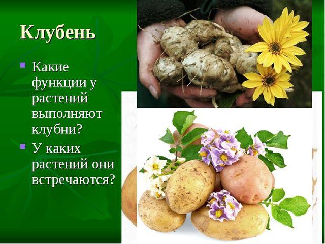 Клубень Какие функции у растений выполняют клубни? У каких растений они встре...