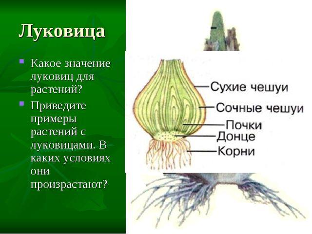 Луковица Какое значение луковиц для растений? Приведите примеры растений с лу...