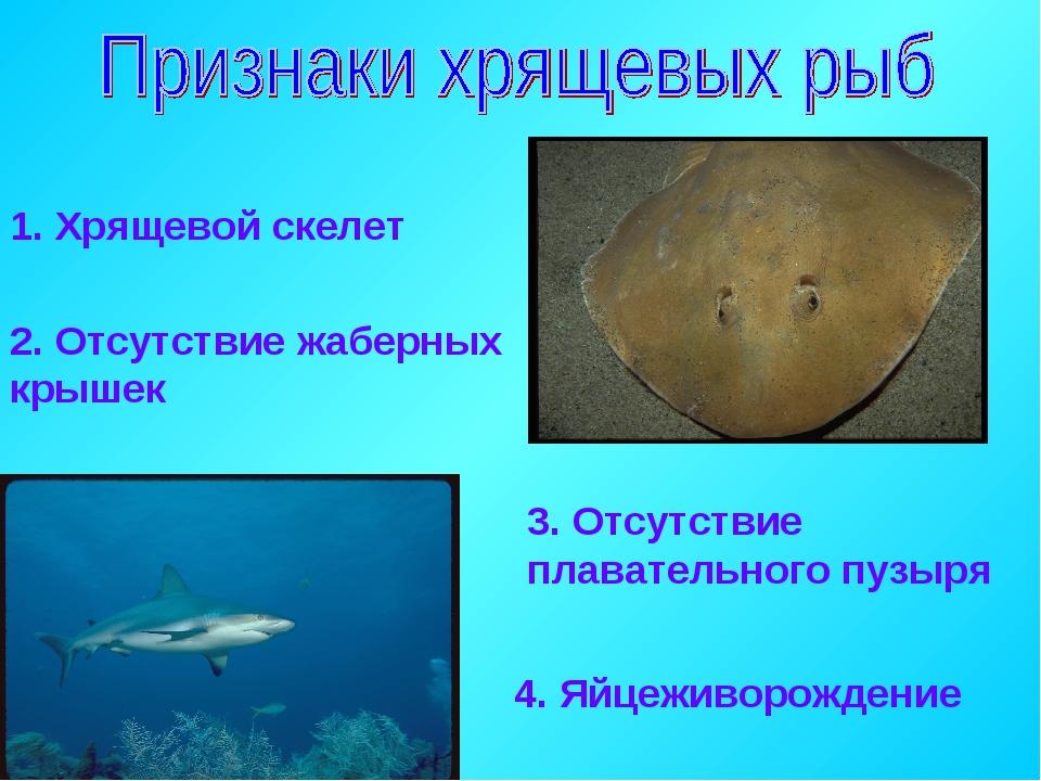 1. Хрящевой скелет 2. Отсутствие жаберных крышек 3. Отсутствие плавательного...