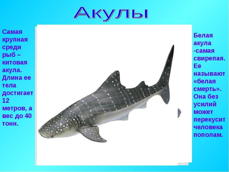 Белая акула -самая свирепая. Ее называют «белая смерть». Она без усилий может...
