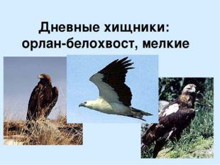 Дневные хищники: орлан-белохвост, мелкие соколы.
