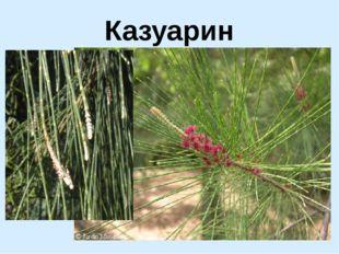 Казуарин