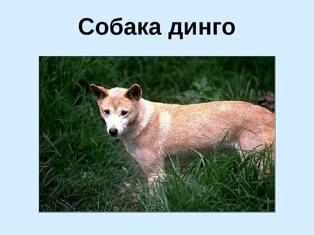 Собака динго
