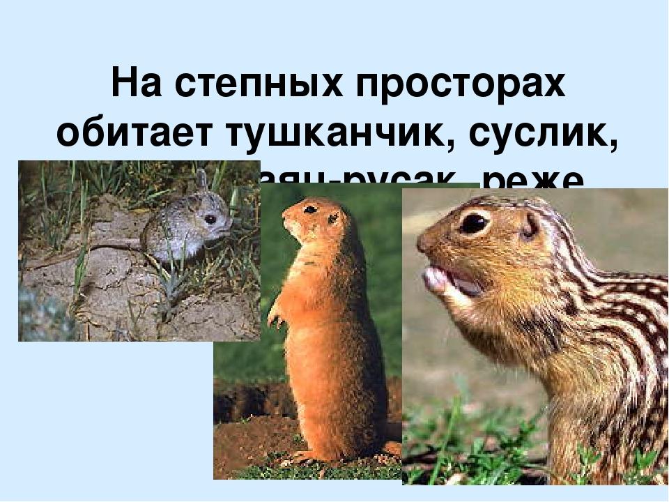 На степных просторах обитает тушканчик, суслик, сурок, заяц-русак, реже заяц-...