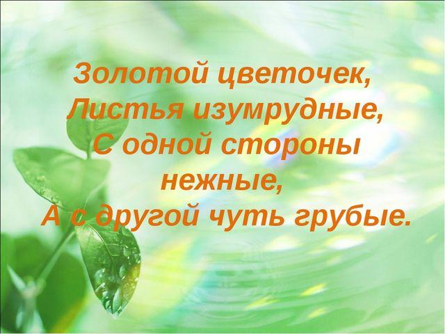 Золотой цветочек, Листья изумрудные, С одной стороны нежные, А с другой чуть...