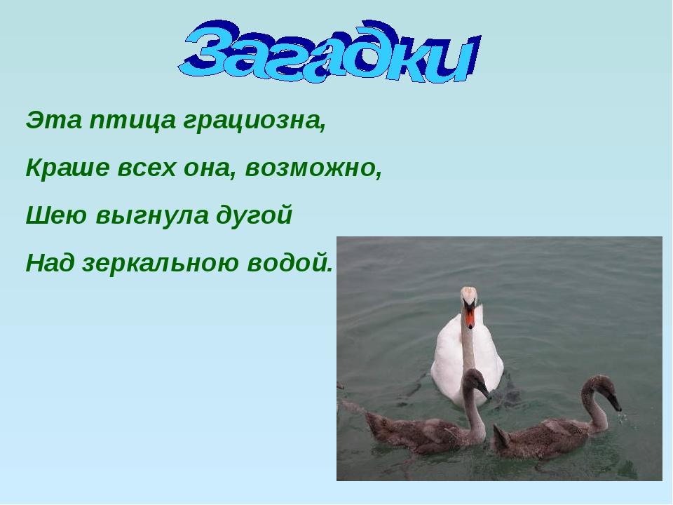 Эта птица грациозна, Краше всех она, возможно, Шею выгнула дугой Над зеркальн...