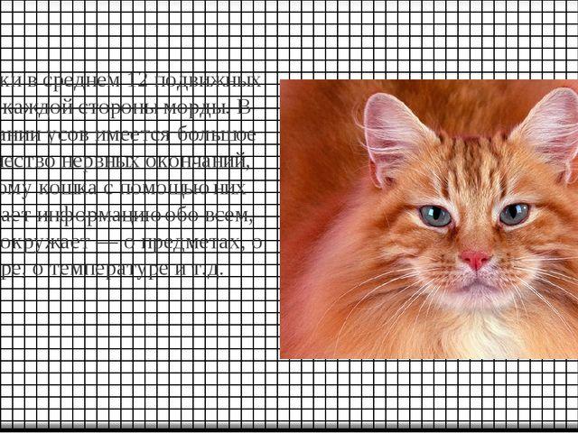 У кошки в среднем 12 подвижных уса с каждой стороны морды. В основании усов и...